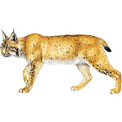 Рысь — зверь, картинка цветная