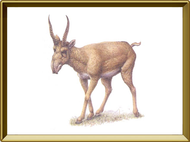 Сайгак — зверь, фото в рамке №1