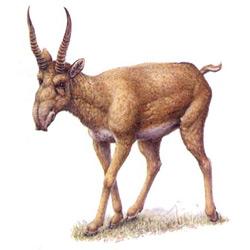 Сайгак — зверь, картинка цветная