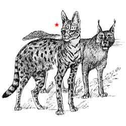 Сервал — зверь, картинка чёрно-белая