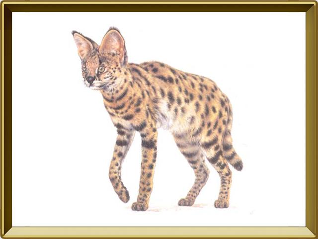 Сервал — зверь, фото в рамке №1