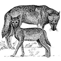 Шакал — зверь, картинка чёрно-белая