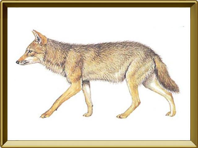 Шакал — зверь, фото в рамке №1