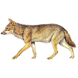 Шакал — зверь, картинка цветная