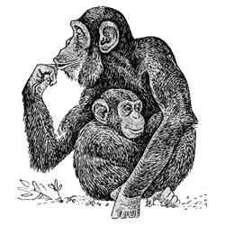 Шимпанзе — зверь, картинка чёрно-белая