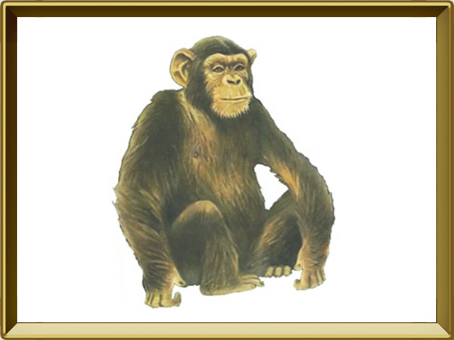 Шимпанзе — зверь, фото в рамке №1