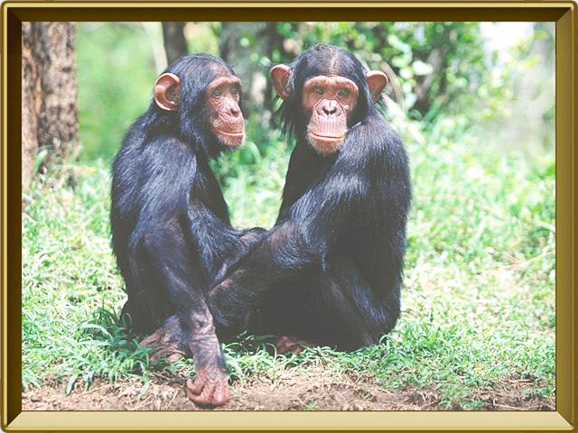 Шимпанзе — зверь, фото в рамке №2