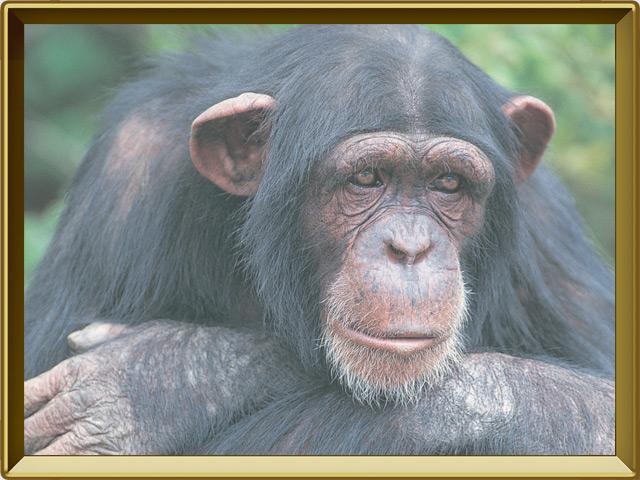 Шимпанзе — зверь, фото в рамке №3
