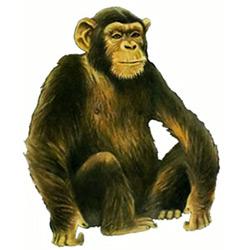Шимпанзе — зверь, картинка цветная