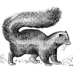 Скунс — зверь, картинка чёрно-белая