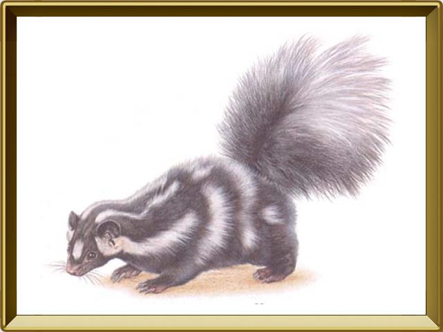 Скунс — зверь, фото в рамке №1
