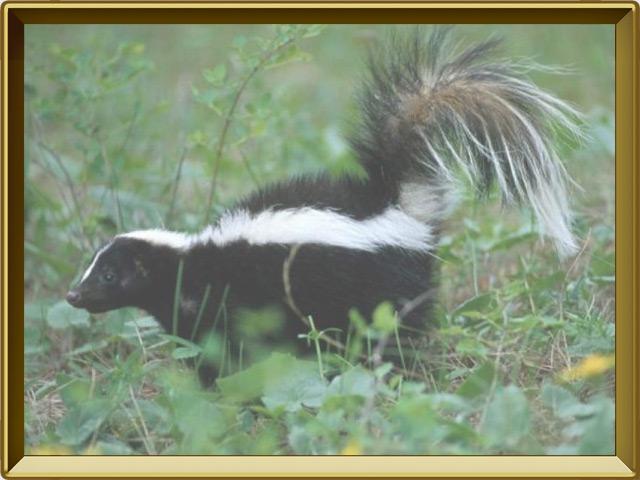 Скунс — зверь, фото в рамке №2