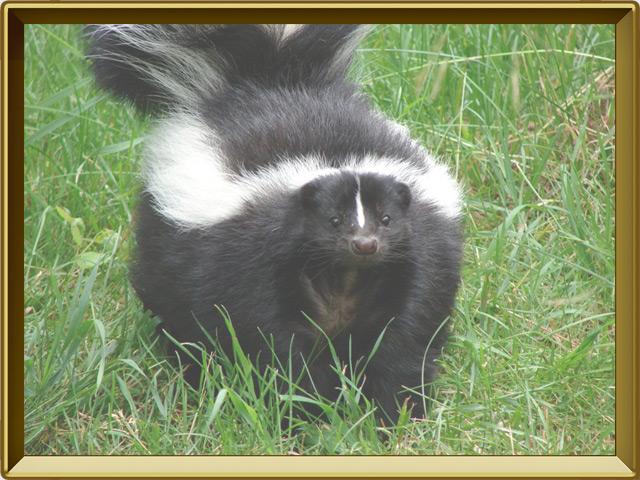 Скунс — зверь, фото в рамке №3
