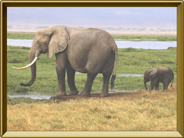 Слон — зверь, фото в рамке №3