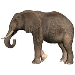 Слон — зверь, картинка цветная