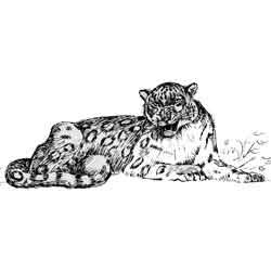 Снежный барс — зверь, картинка чёрно-белая