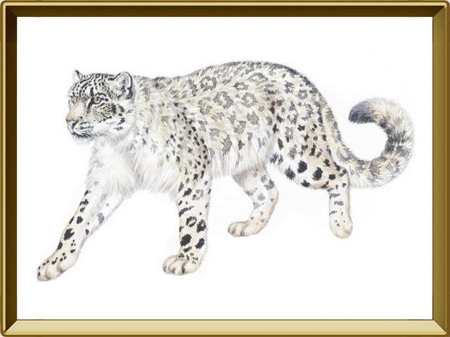 Снежный барс — зверь, фото в рамке №1