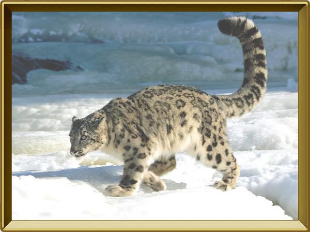 Снежный барс — зверь, фото в рамке №2