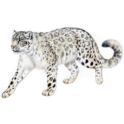 Снежный барс — зверь, картинка цветная