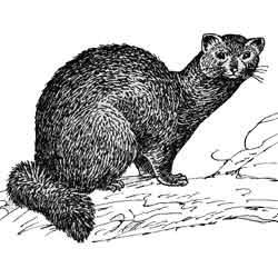 Соболь — зверь, картинка чёрно-белая