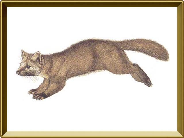 Соболь — зверь, фото в рамке №1