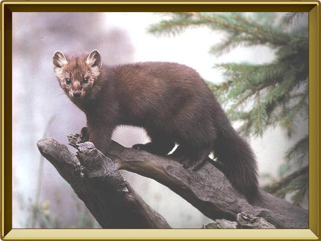Соболь — зверь, фото в рамке №2