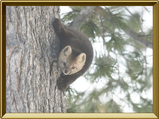 Соболь — зверь, фото в рамке №3