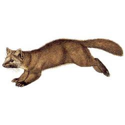 Соболь — зверь, картинка цветная