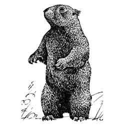Сурок — зверь, картинка чёрно-белая