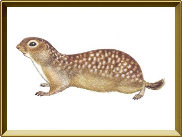 Суслик — зверь, фото в рамке №1