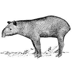 Тапир — зверь, картинка чёрно-белая