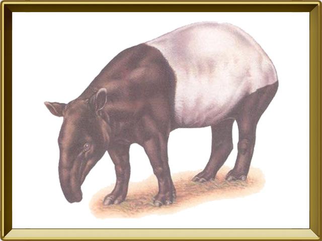 Тапир — зверь, фото в рамке №1