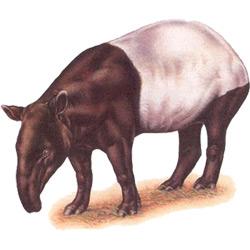 Тапир — зверь, картинка цветная