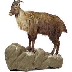 Тар — зверь, картинка цветная
