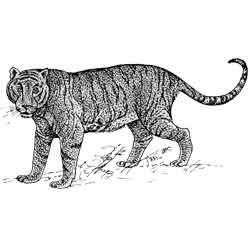 Тигр — зверь, картинка чёрно-белая