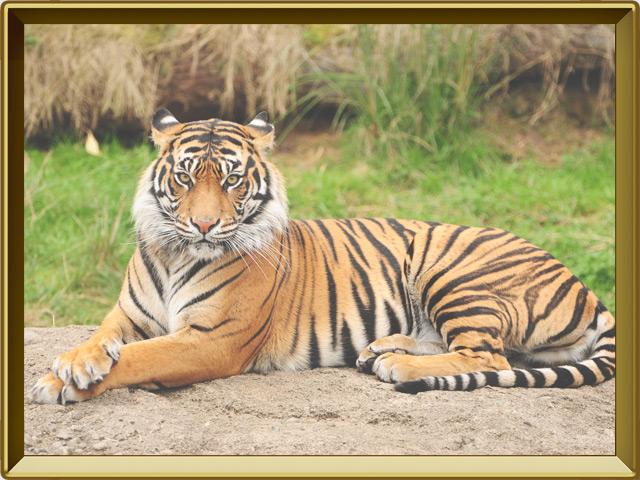 Тигр — зверь, фото в рамке №2