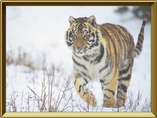 Тигр — зверь, фото в рамке №3