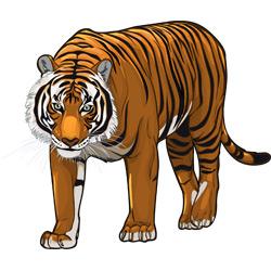Тигр — зверь, картинка цветная