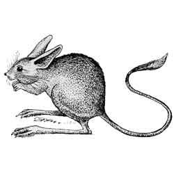Тушканчик — зверь, картинка чёрно-белая