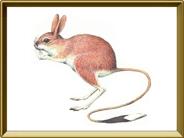 Тушканчик — зверь, фото в рамке №1