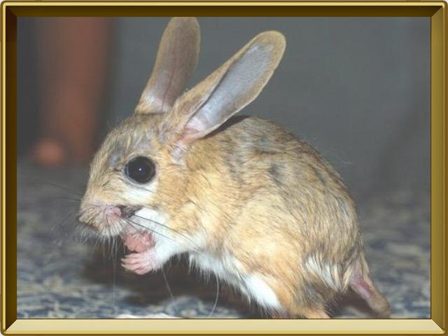 Тушканчик — зверь, фото в рамке №2