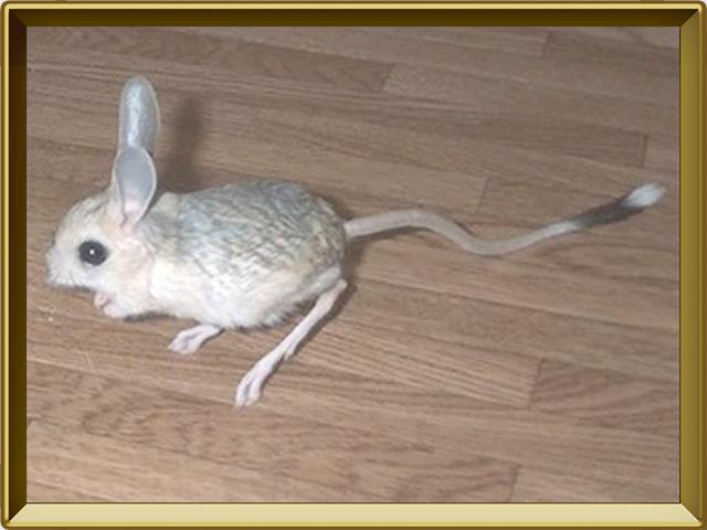 Тушканчик — зверь, фото в рамке №3