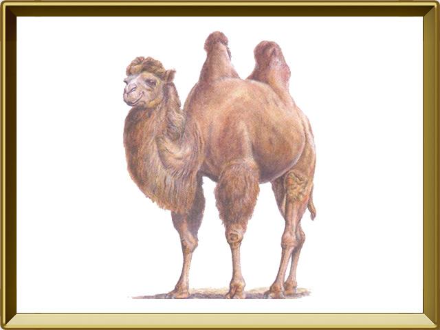 Верблюд — зверь, фото в рамке №1