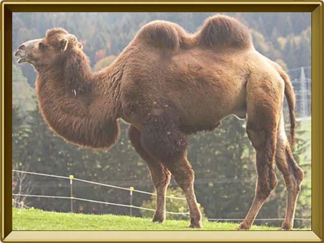 Верблюд — зверь, фото в рамке №2