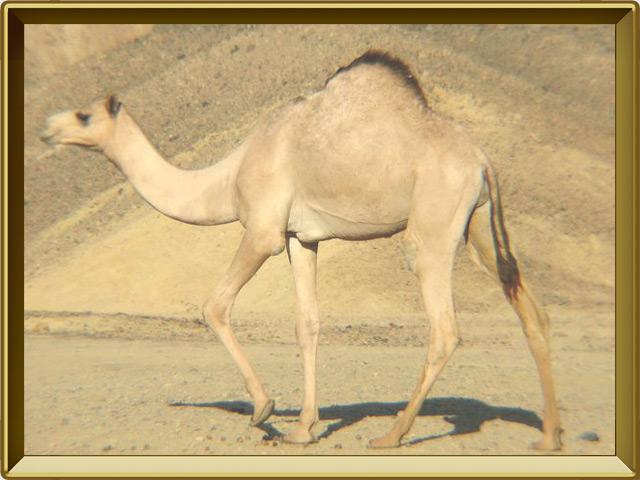 Верблюд — зверь, фото в рамке №3