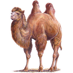 Верблюд — зверь, картинка цветная