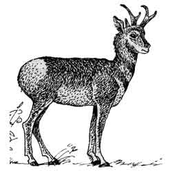 Вилорог — зверь, картинка чёрно-белая