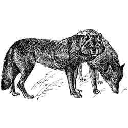 Волк — зверь, картинка чёрно-белая
