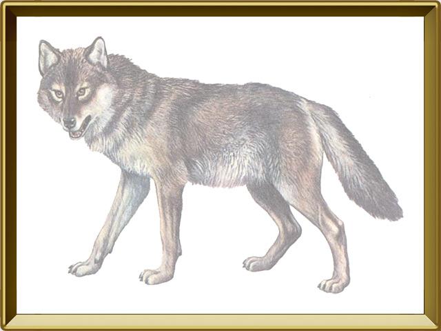 Волк — зверь, фото в рамке №1
