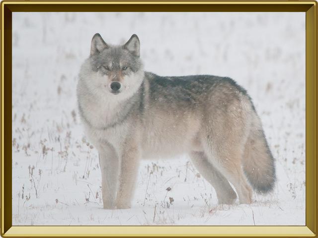 Волк — зверь, фото в рамке №2